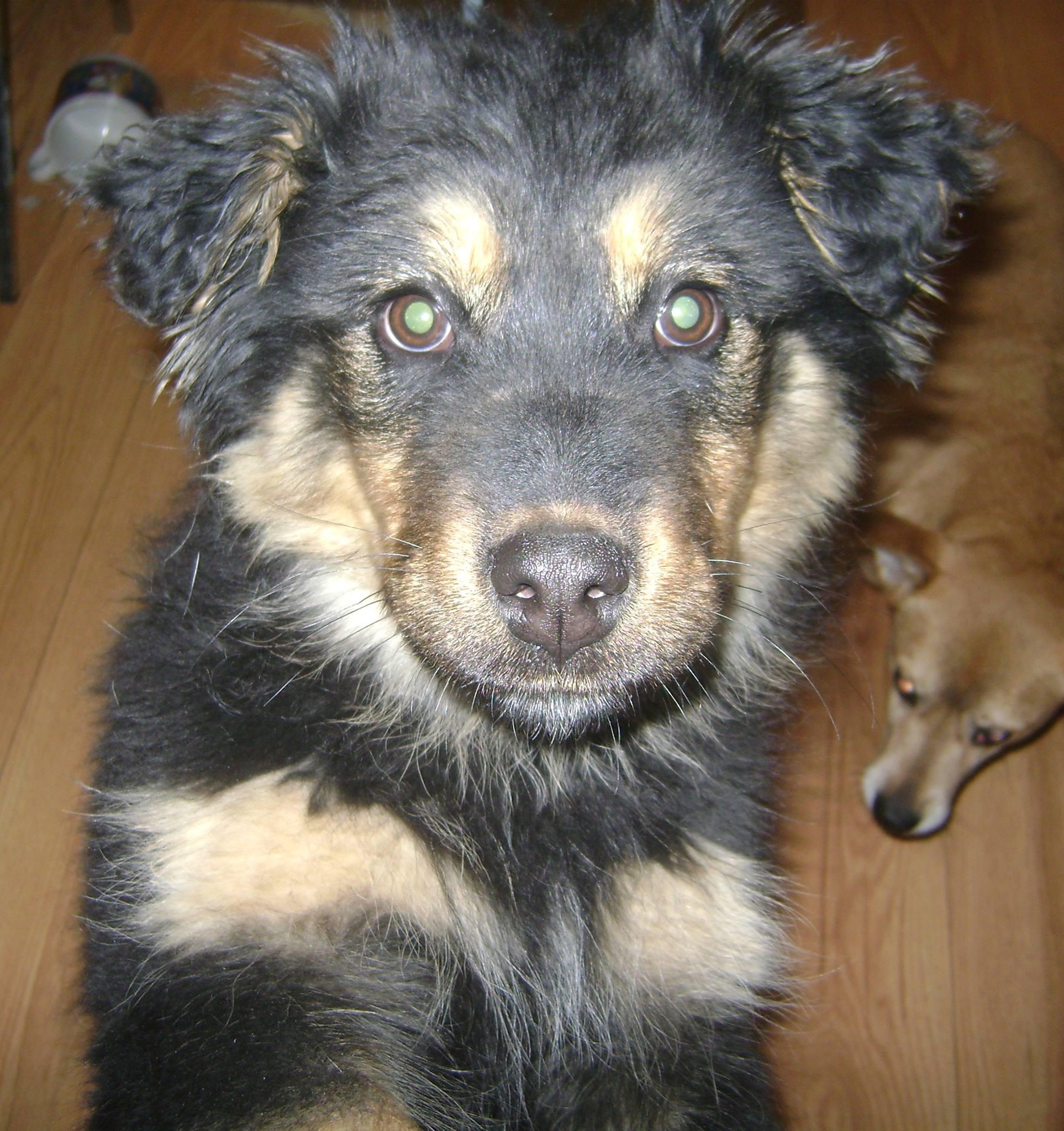 Sally is a 4-month-old, female Shepherd/Rotti/Husky Cross.