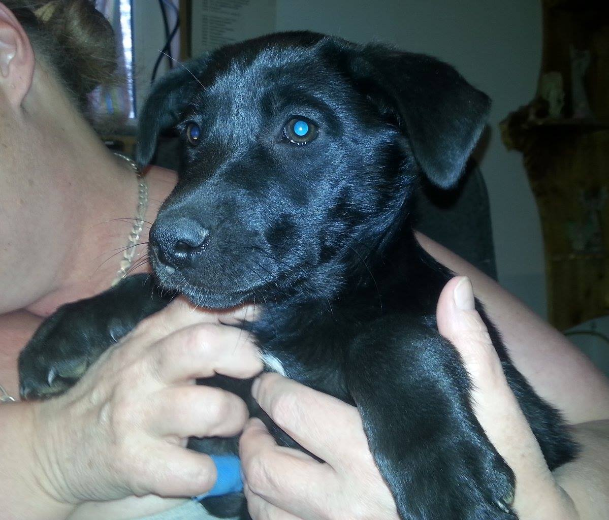 Blackie is (likely) a shepherd/lab/rottie cross.