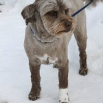 Bella is a 5-year-old Shih-Tzu/terrier Cross.