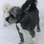 Shadow is a 5-year-old Shih-Tzu/terrier Cross.