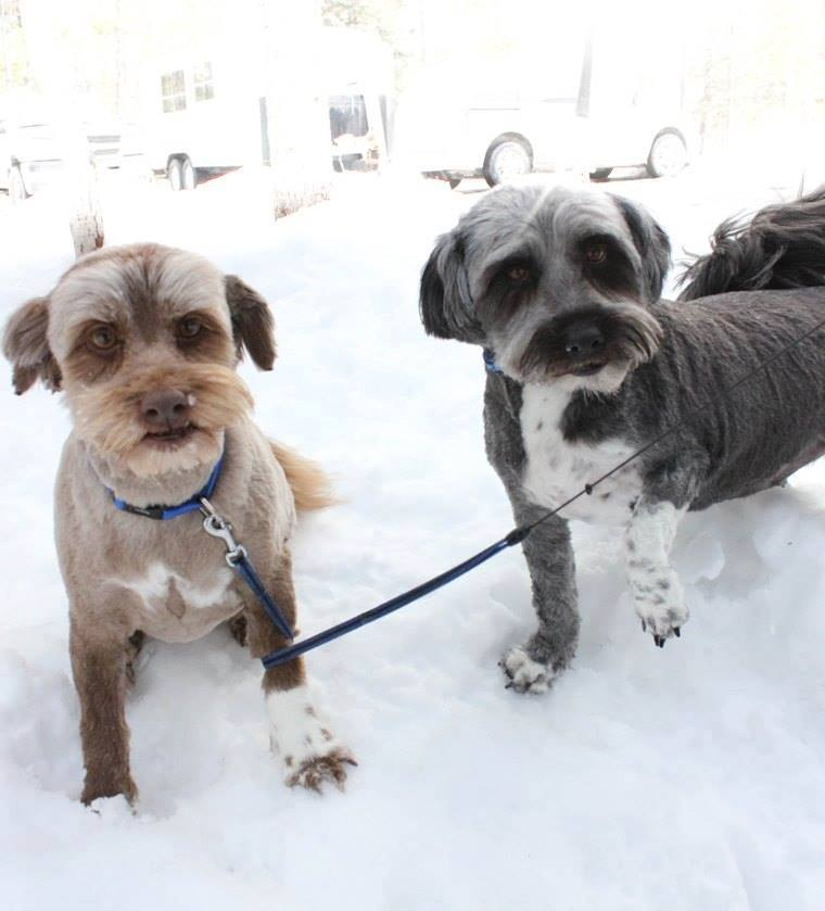 Bella and Shadow are 5-year-old Shih-Tzu/terrier Cross dogs.