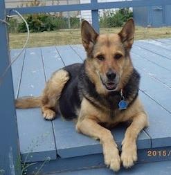 Reba is a nine-year-old, spayed German Shepherd.