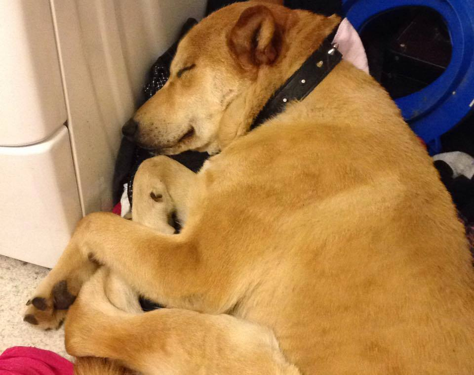 Buzzinga is a male, one-year-old Husky/American Indian dog cross.