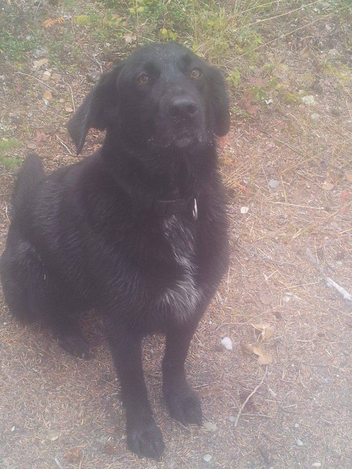 Recon is a 5-year-old lab mix, she's spayed, gentle and housetrained.