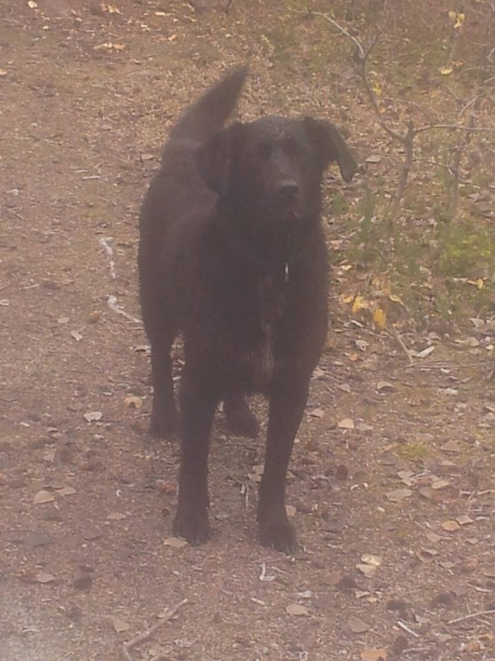 Recon is a lab mix girl looking for a fur-ever home.