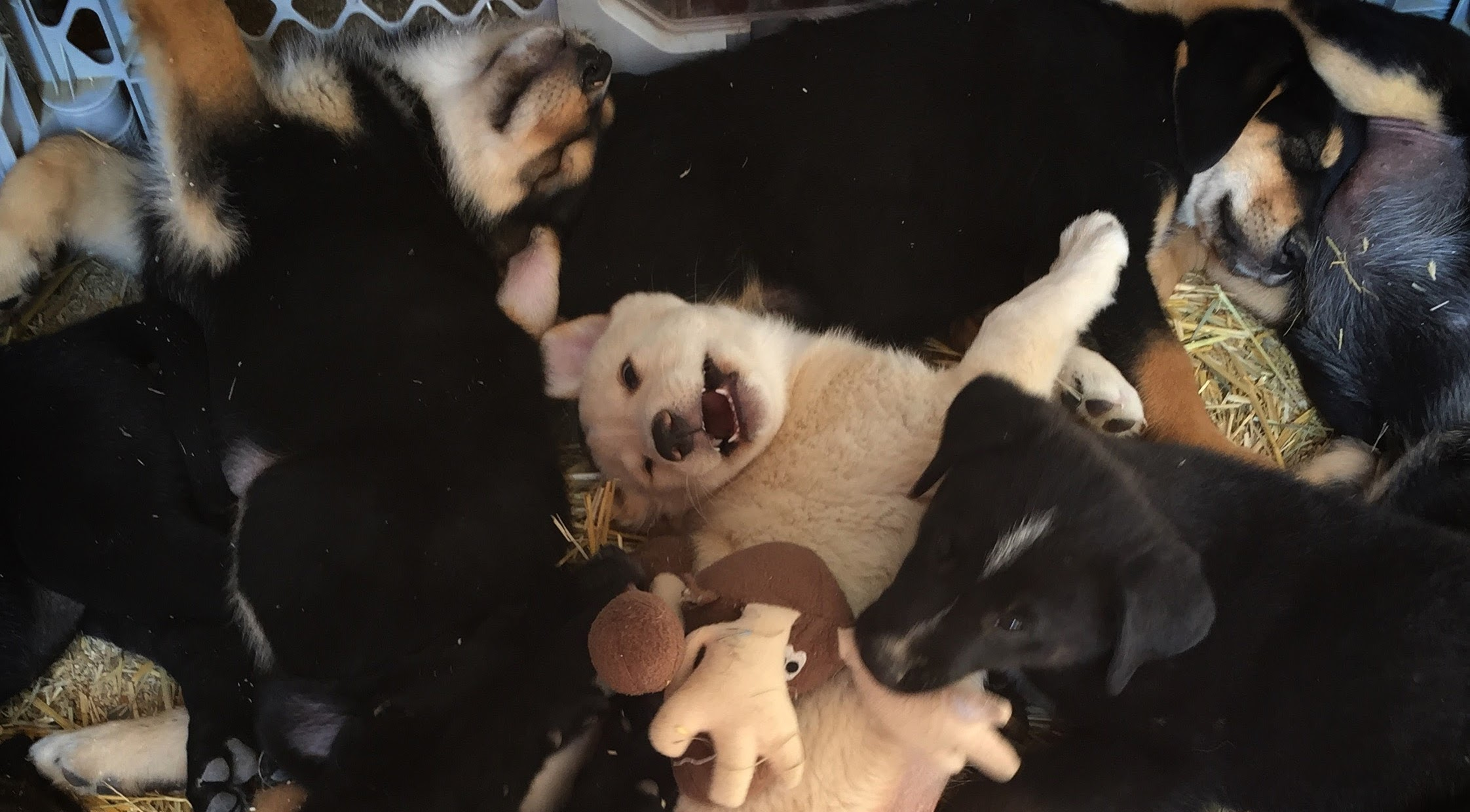 """Teach puppy not to bite by saying """"Ouch"""" loudly."""