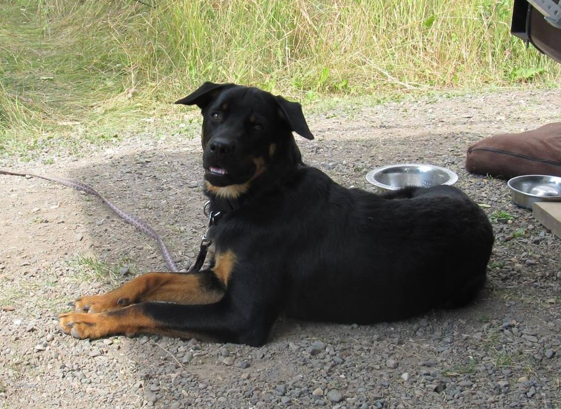 """Porter (AKA""""Woody""""), from Gaga's litter, loves camping and hiking in the lower mainland."""