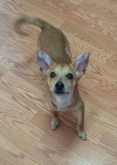 Pixel is a young female chihuahua cross looking for a home.