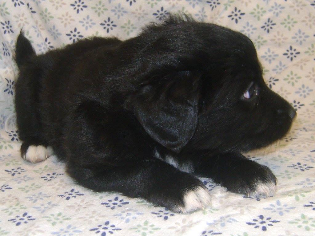 Vlasik is a male puppy from YARN's Pickle litter.