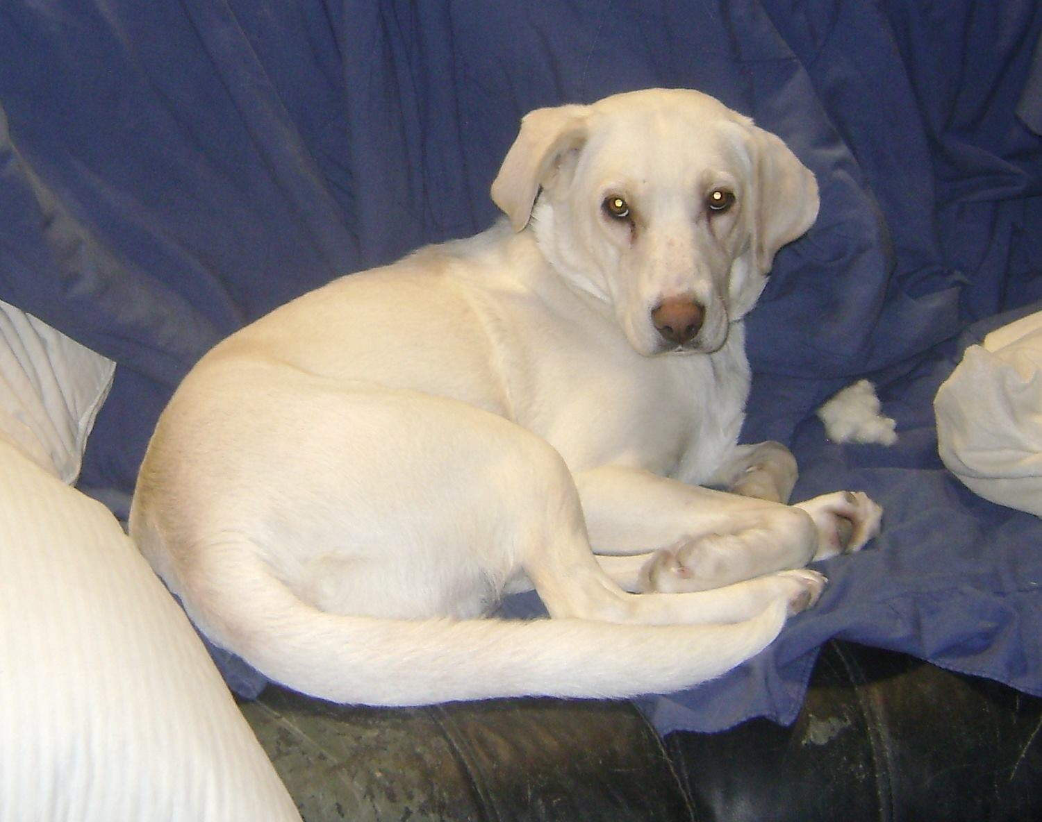 Huntress is a female, 3-year-old lab.