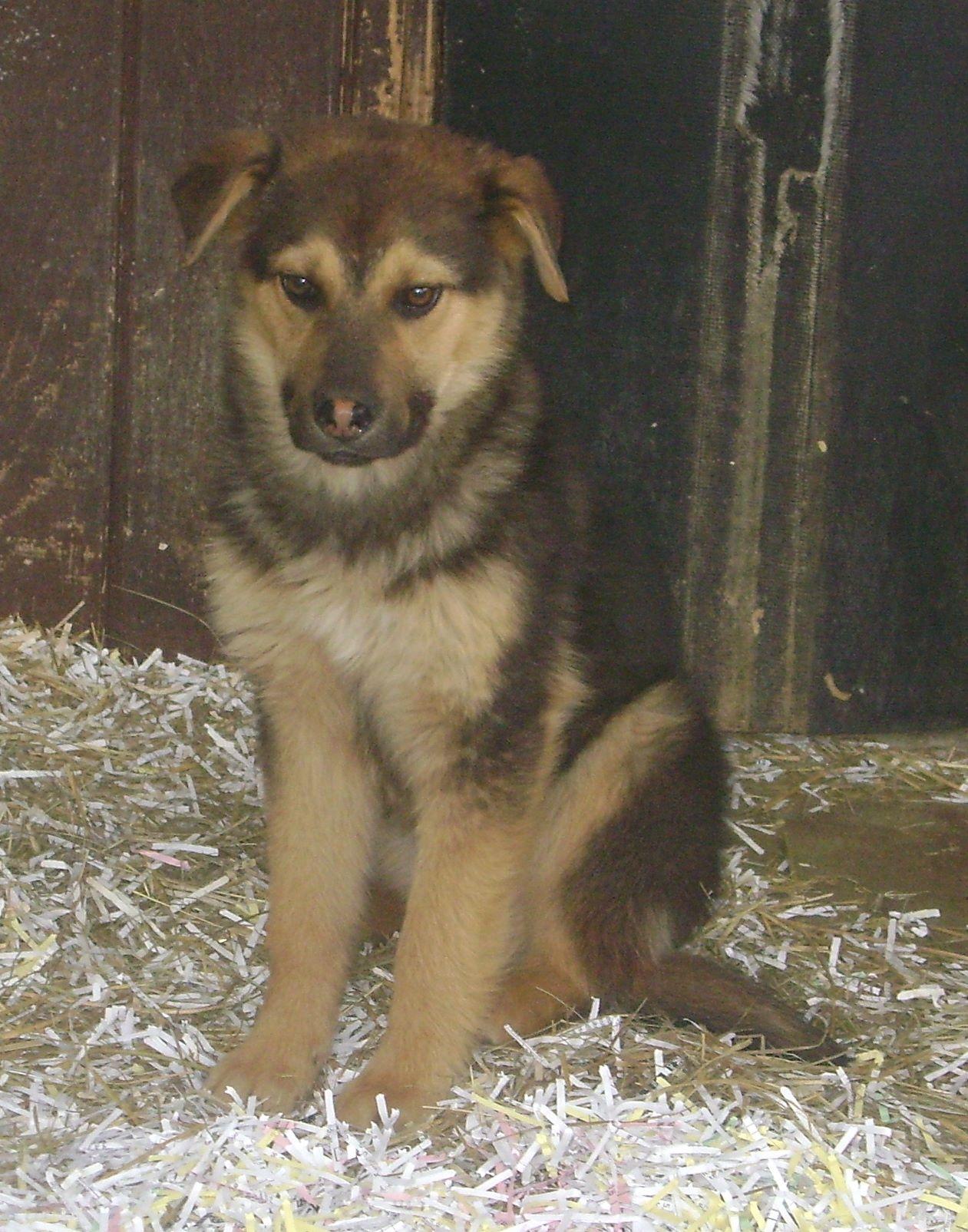 Bluebell is a female shepherd cross puppy.
