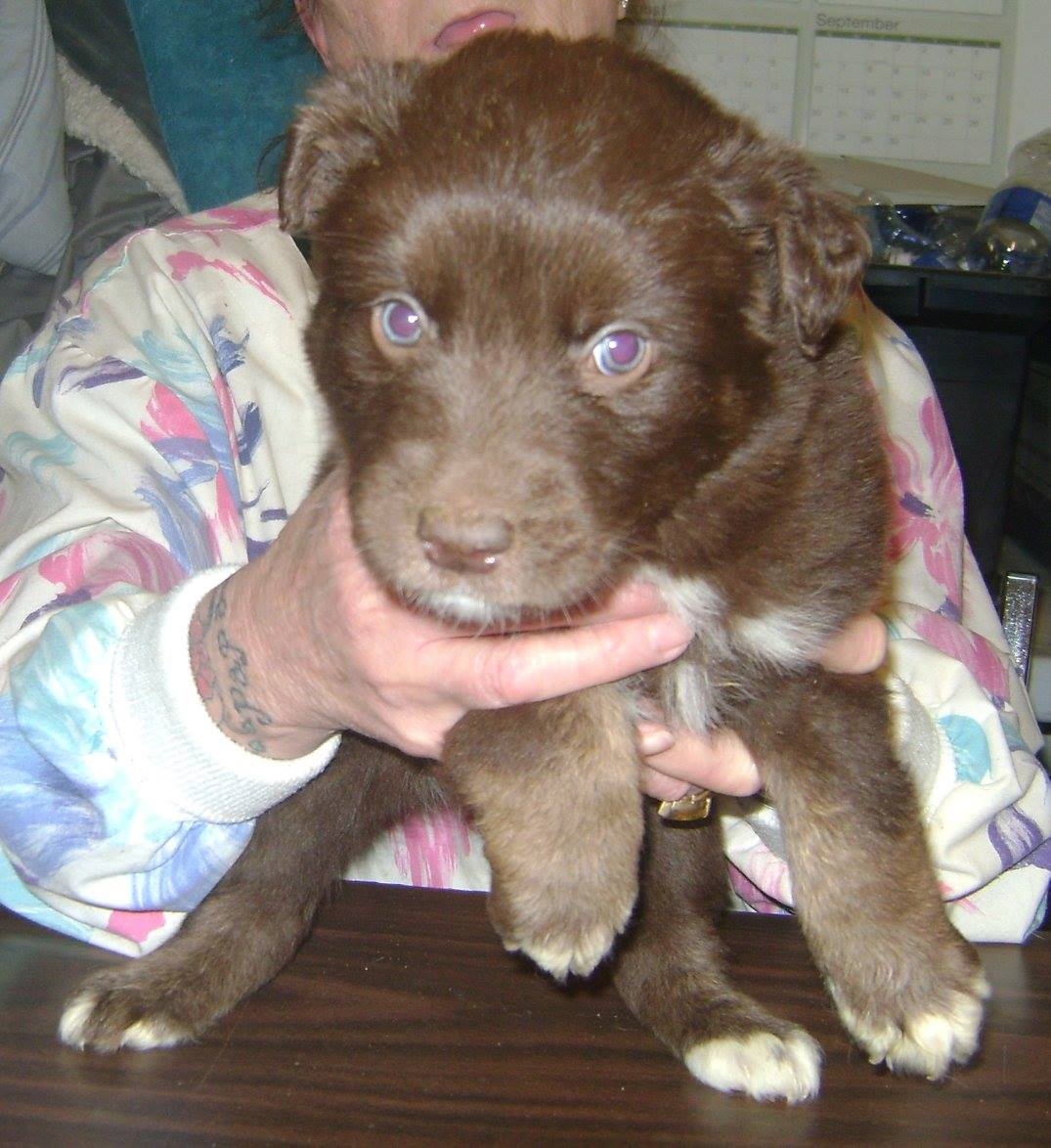 Tic is a female chocolate lab cross.