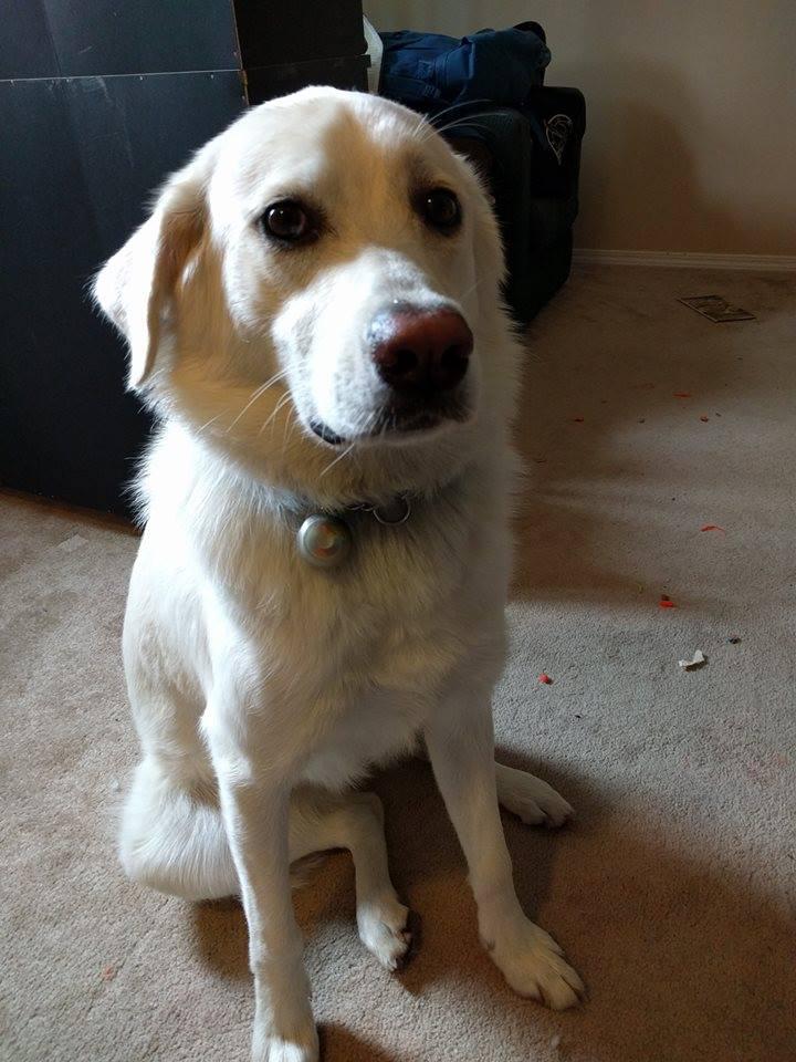 Keeva is a female husky x lab.