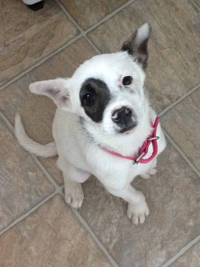 Patches is a female, high-energy terrier puppy.