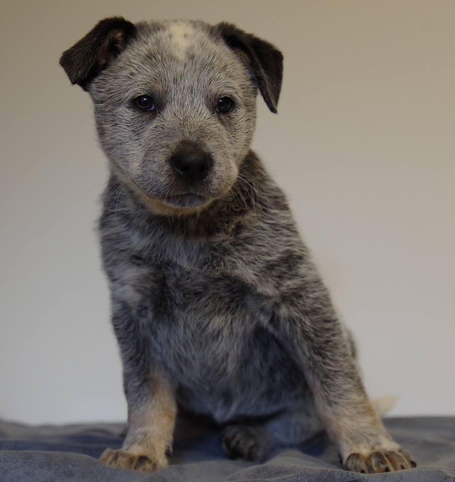 Lake is a female blue Heeler x Siberian Husky/Shepherd/Akita Cross.