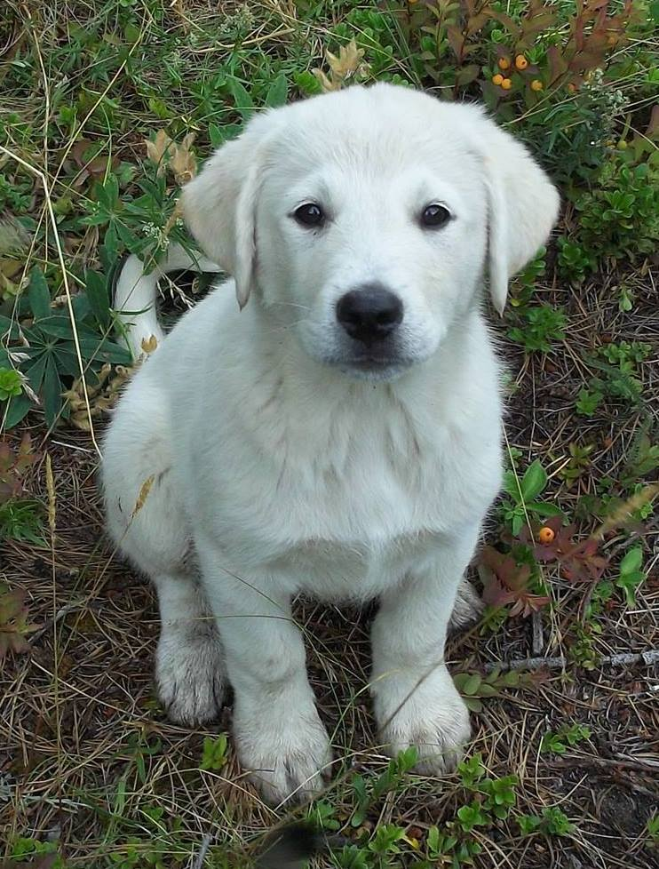 "Cookie is a female from YARN's ""Third Fork Dog Pack"" Litter. Her mom is Kuvasz/Great Pyrenees and her dad is Lab/Shepherd Cross."