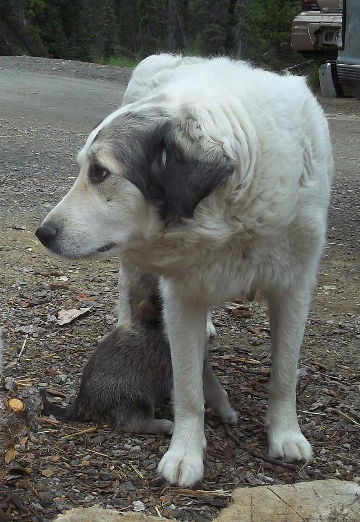 Quartz, mom of Third Fork litter, is Kuvasz/Great Pyrenees.