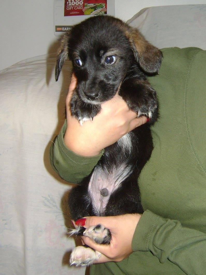 Excel is a 9 week old Male from YARN's Gum Litter.