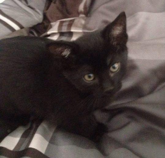 Adonis is a male kitten from the Greek God litter.