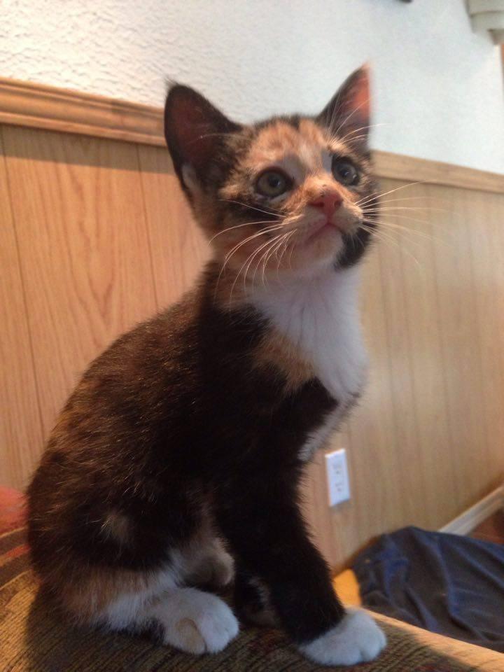 Cybele is a female kitten from the Greek God litter.