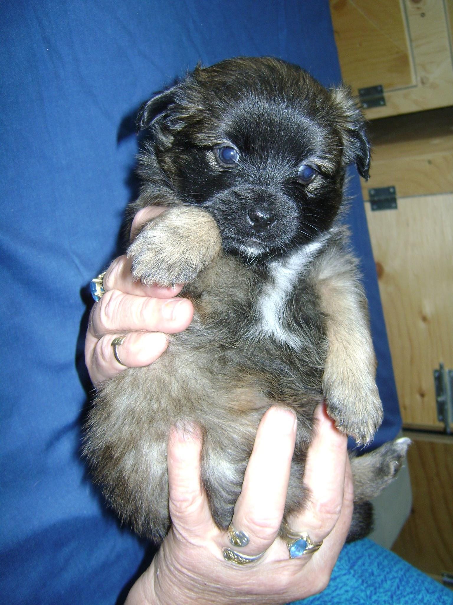 """""""Dorothy"""". I am a 5 week old female from YARN's """"Wizard of Oz Litter"""". . I will be a small breed girl."""
