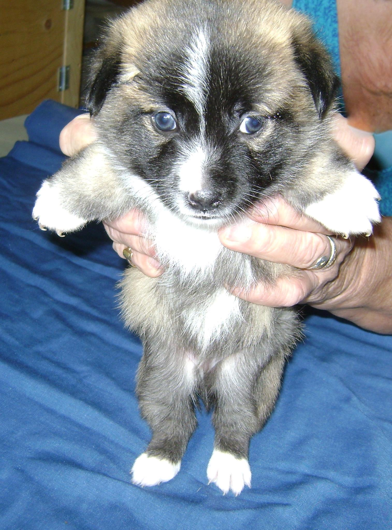 """""""Toto"""". I am a 5 week old Male from YARN's """"Wizard of Oz Litter"""". . I will be a small breed boy… My mama is only about 10 inches high."""