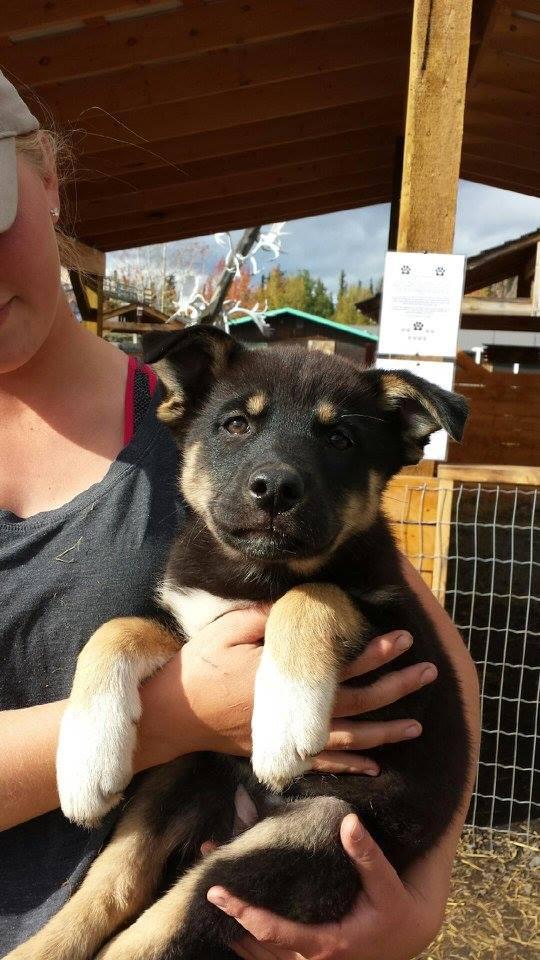 Nova is a female, husky x puppy.