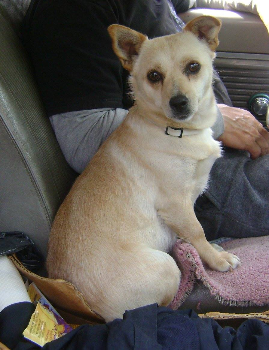 Ellie Mae is a Chihuahua cross female, 1 to 2 years old, and the mother of YARN's Beverly Hillbilly's Litter.
