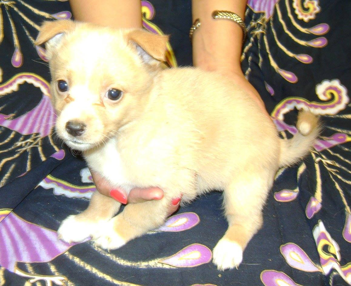 Jed is a male, Chihuahua cross.