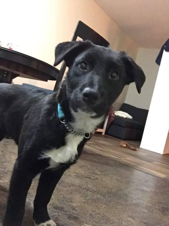Penny is a Bull Mastiff / Rottweiler / Newfoundlander Cross.