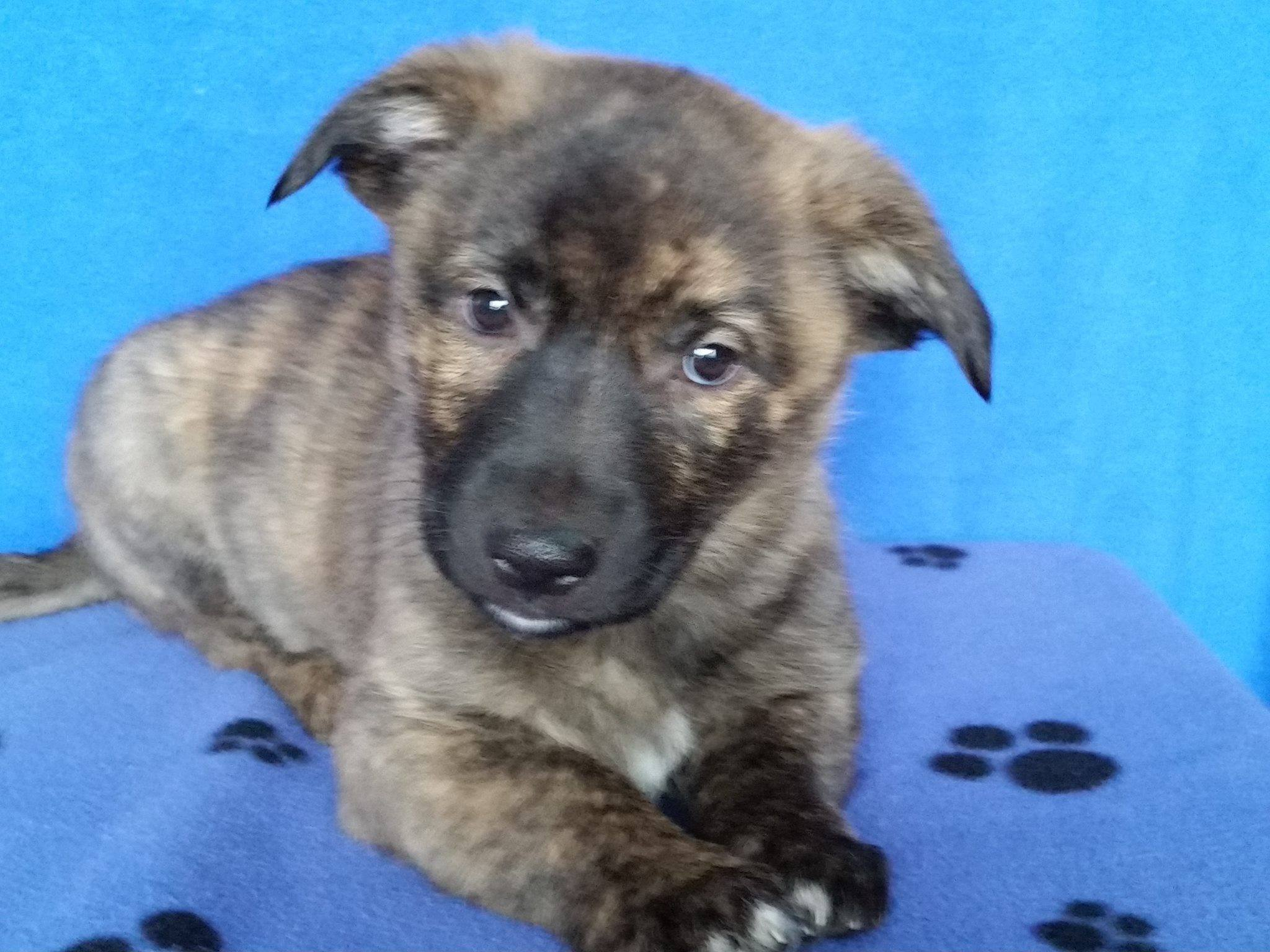 Angus is a male pup from YARN's Cow Litter.