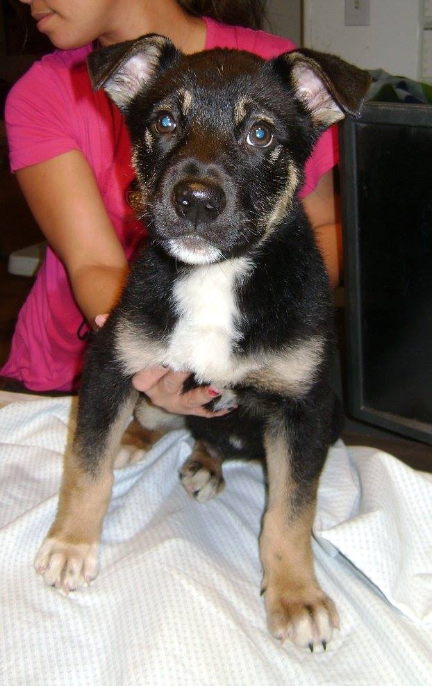 Wyatt is a shepherd cross puppy.