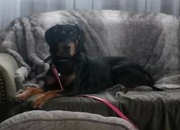 Piper is a female, 8-year-old Coon Hound.
