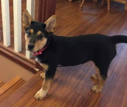 Meeka is a female, young Rottie/Shepherd Cross (likely) - but with shorter legs.