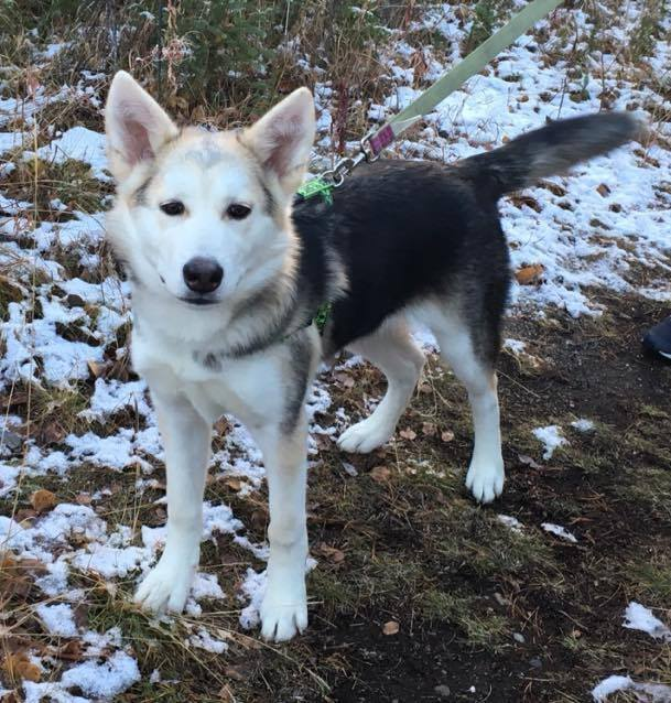 Miracle is a husky cross.