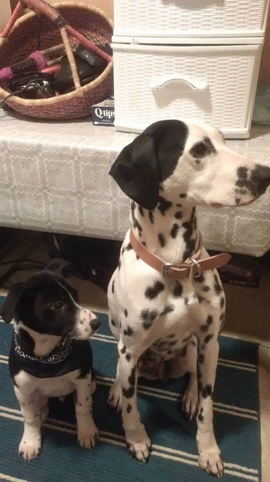 Bailey is the mother of YARN's 100 Dalmatian's Litter. I am a Dalmatian from Old Crow… YARN included my picture so you can see what my babies might look like when grown up. They will be large size dogs.