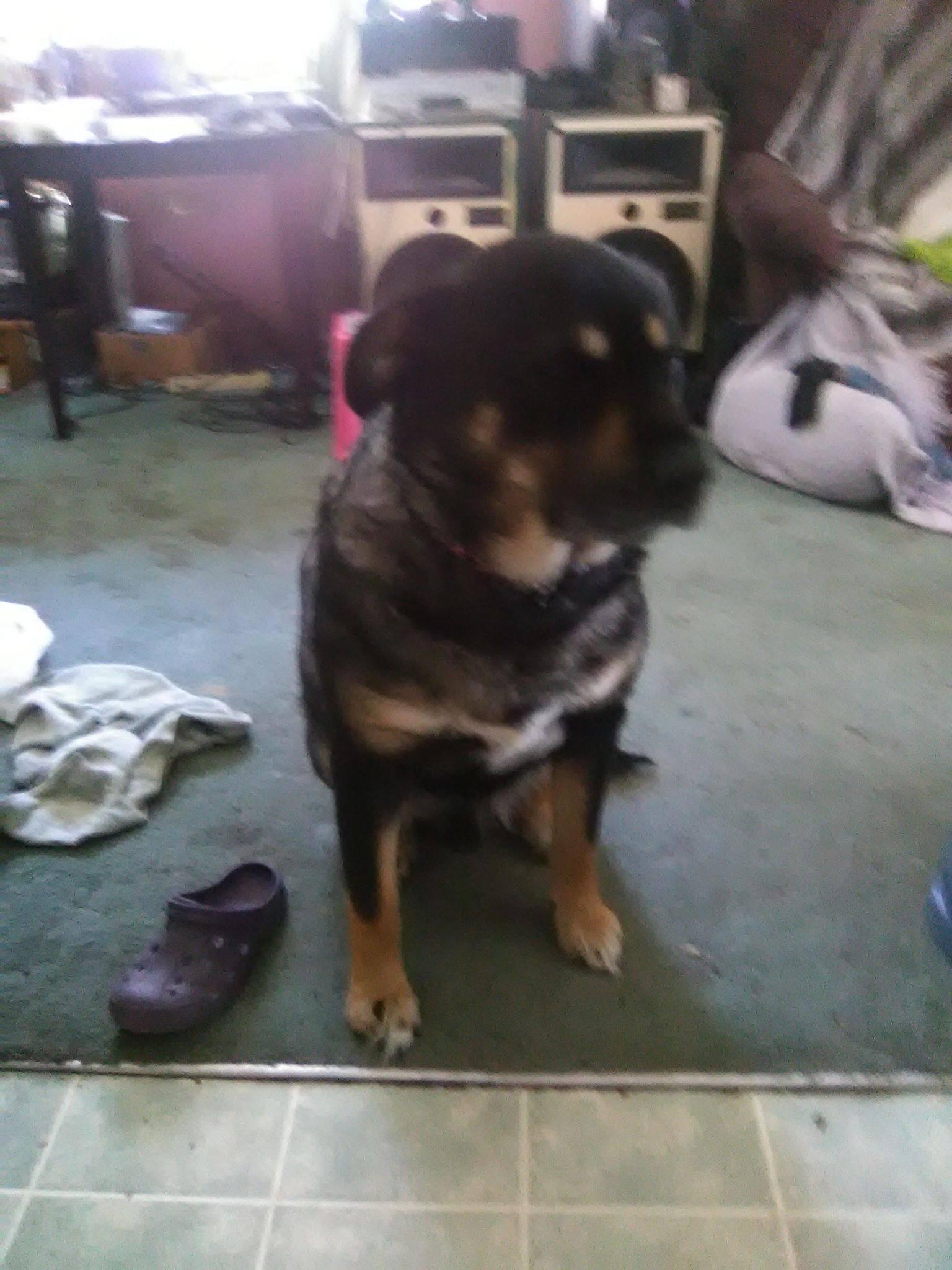 Mufasa is  a five year old Rottie / Shepherd Cross.