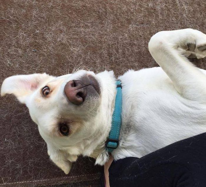 Huntress is a three-year-old, female white lab.